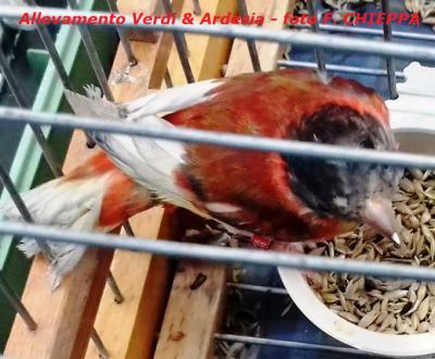 cardinalino-anomalo1.png